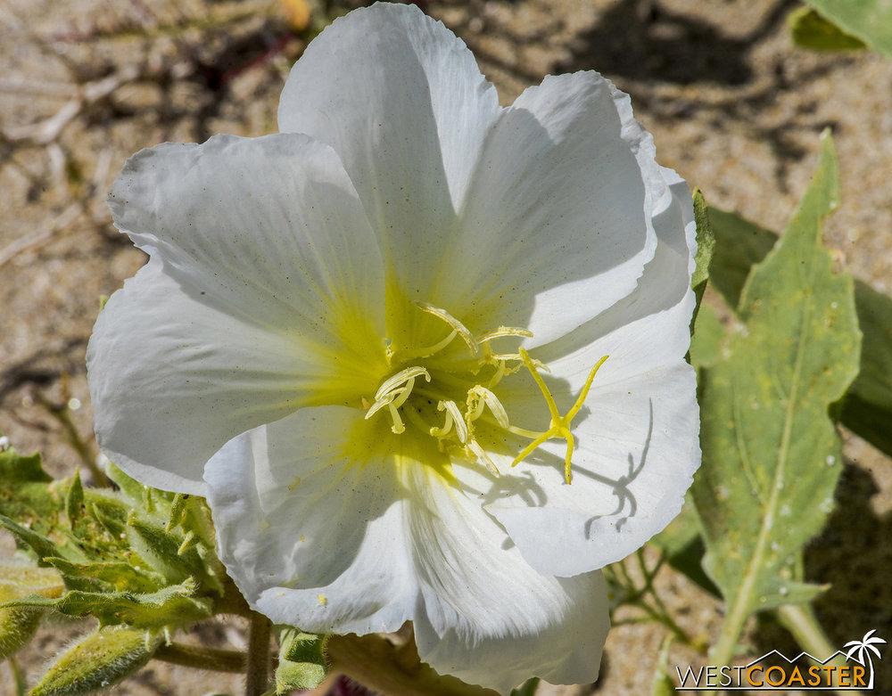 The California evening primrose have large, luscious petals.