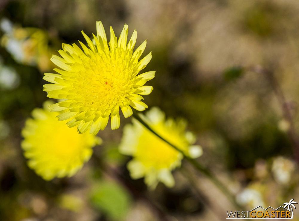 California dandelion are a common sight.