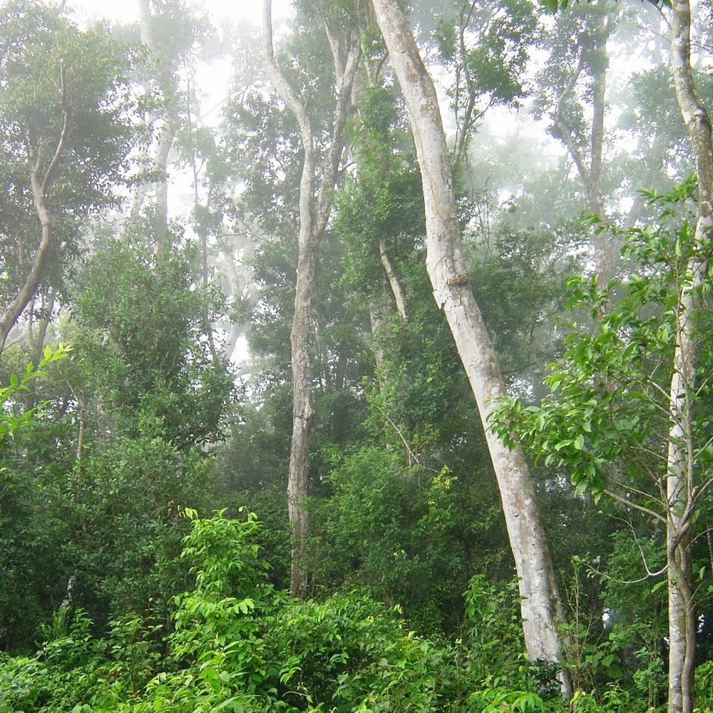 Guatemalan Maya (Brosimum alicastrum) Forest.