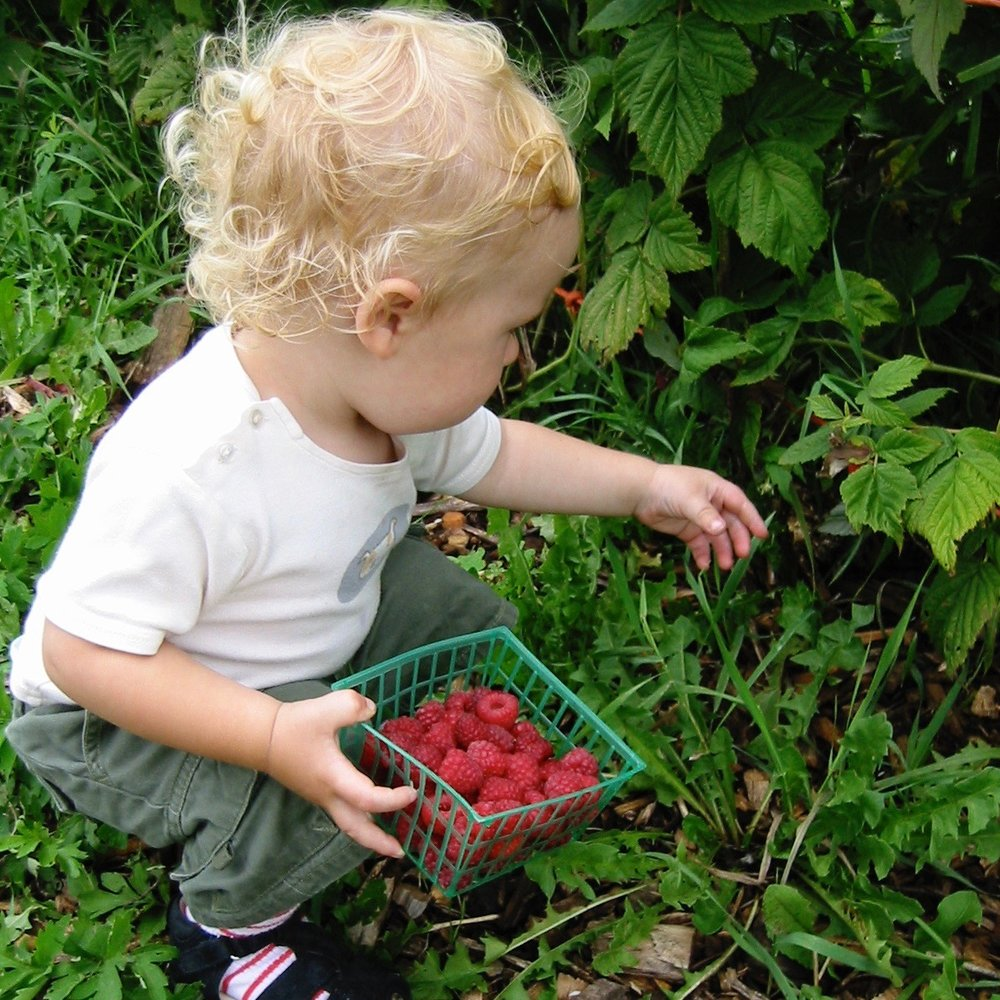 Picking raspberries in your own backyard