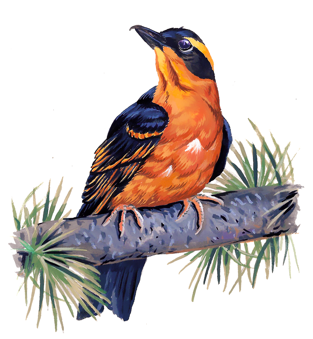 Varied Thrush , gouache on paper, 2017