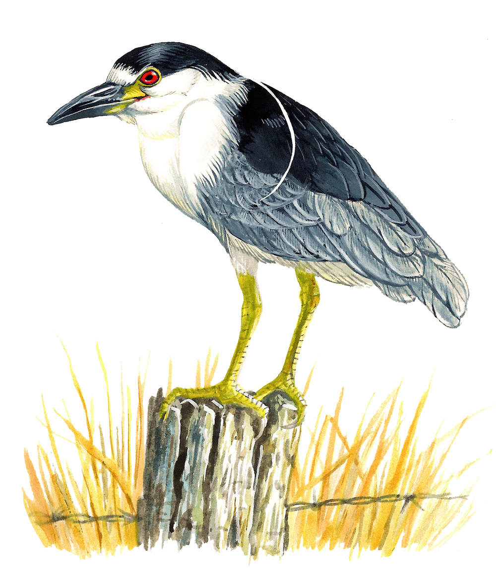 Black-crowned Night Heron , watercolour on paper, 2017