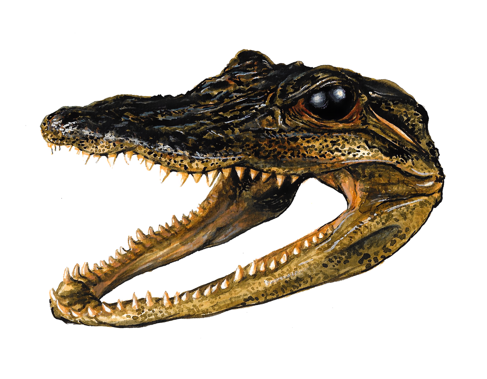American Alligator Head , watercolour and gouache on paper, 2017
