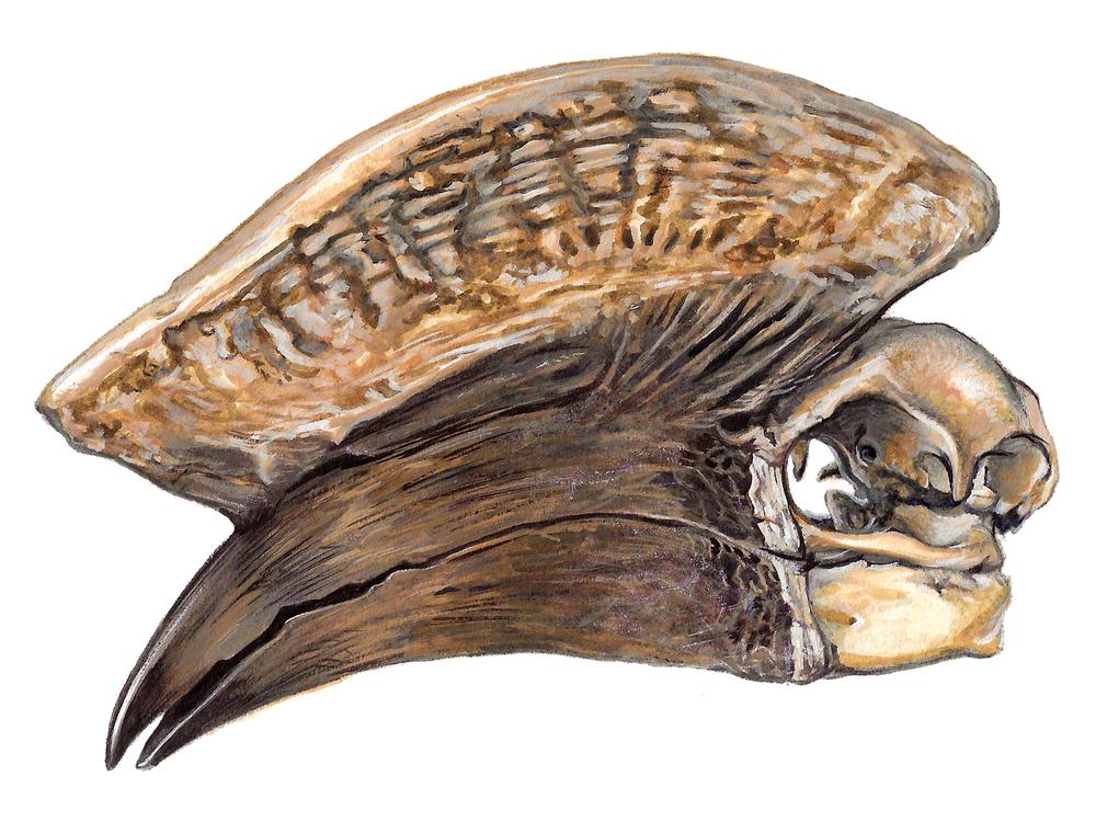 Hornbill Skull I , gouache on paper, 2017