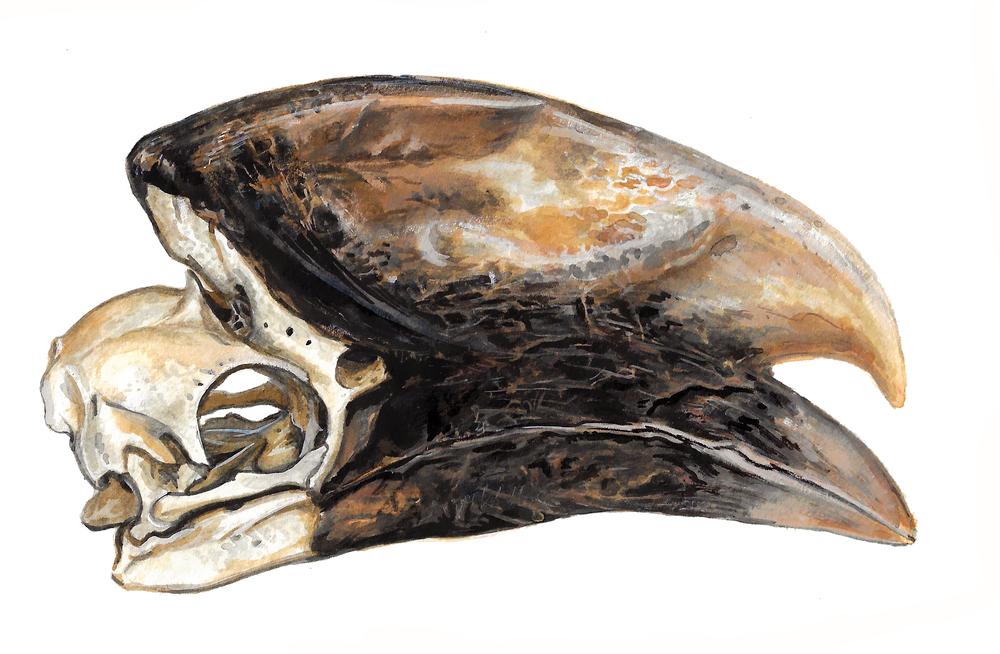 Hornbill Skull II , gouache on paper, 2017