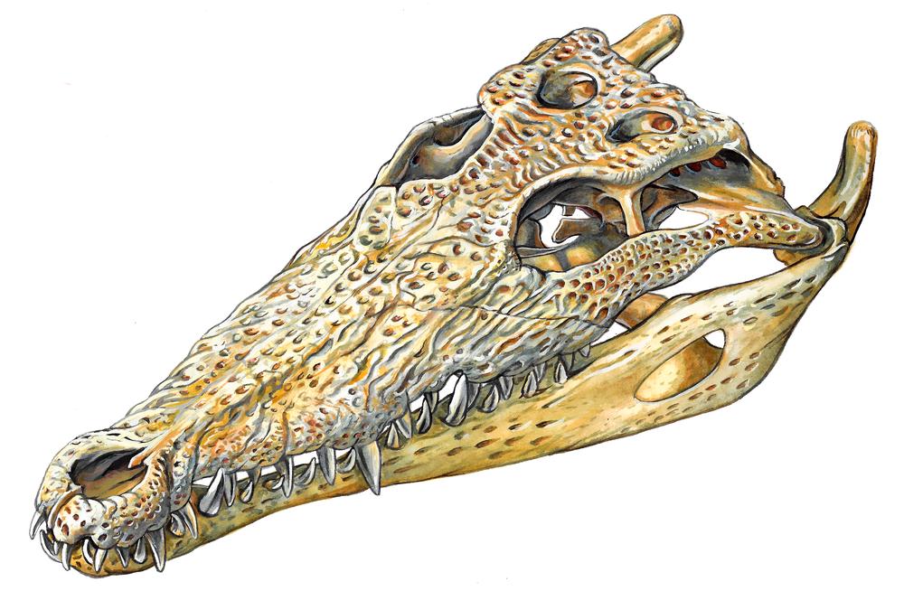 Nile Crocodile Skull , watercolour and gouache on paper, 2017