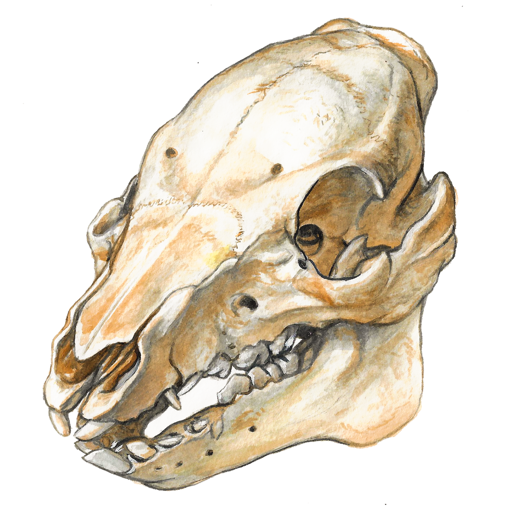 Young Pig Skull , watercolour on paper, 2017
