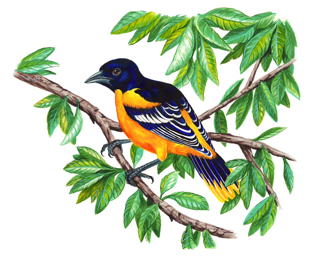 Baltimore Oriole , watercolour on paper, 2017
