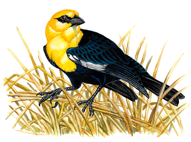Yellow-headed Blackbird , watercolour on paper, 2017