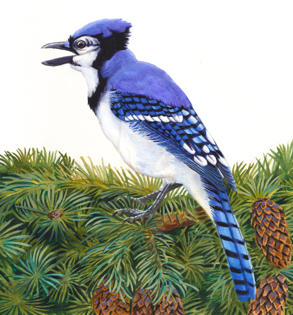 Bluejay , gouache on paper, 2016 (private commission)
