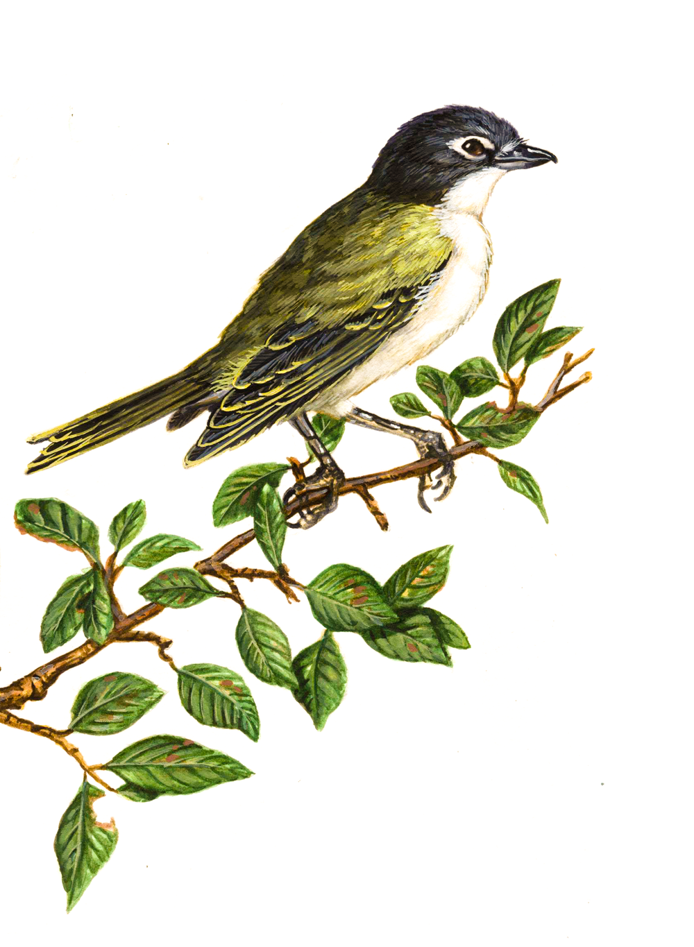 Blue-headed Vireo , watercolour on paper, 2017 (private commission)