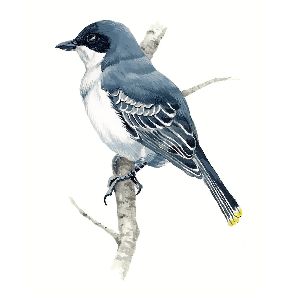 Juvenile Eastern Kingbird , gouache on paper, 2017