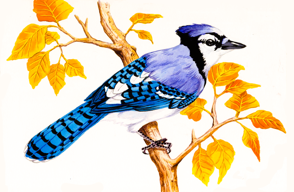 Bluejay , watercolour on paper, 2017 (private commission)