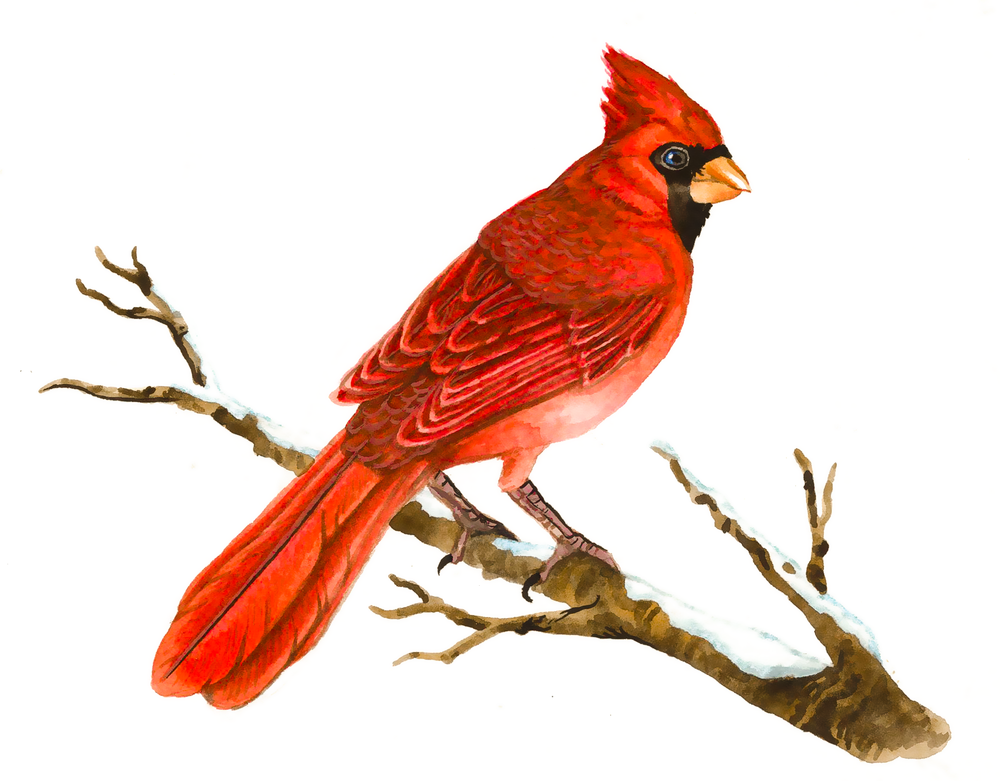 Cardinal , watercolour on paper, 2016 (private commission)