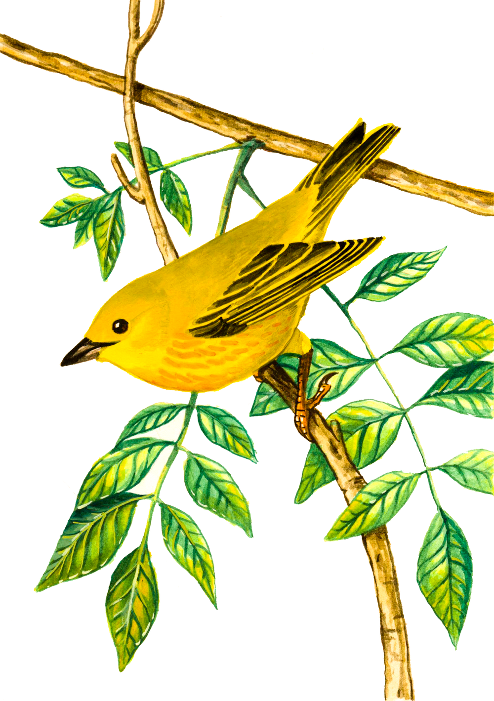 Yellow Warbler , watercolour on paper, 2017 (private commission)