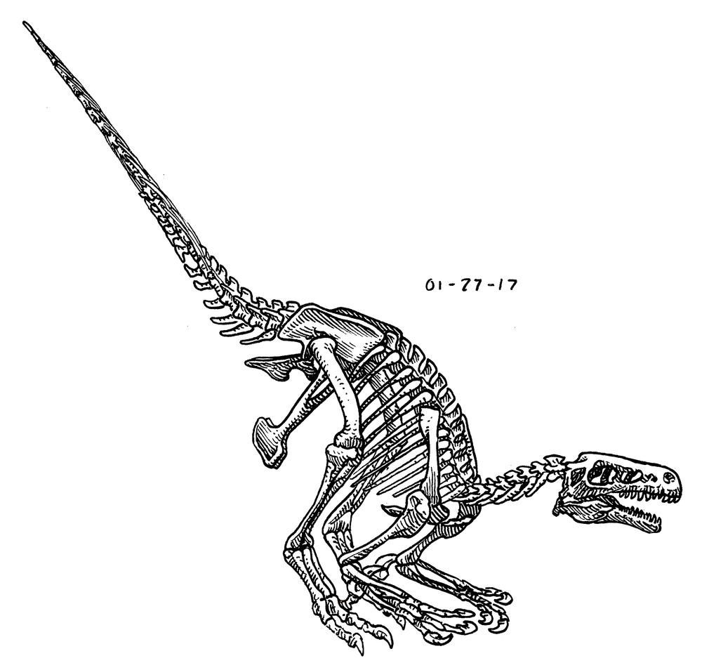 Dromeosaurus , 2017