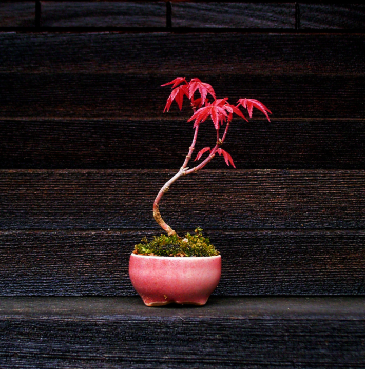 Petit bonsai   source