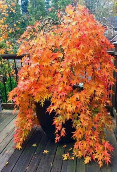 A Japanese Maple For Your Apartment Anns Liee