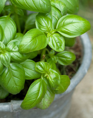 basil_in_pot-jing_captured_image_2015-06-16_1508.png