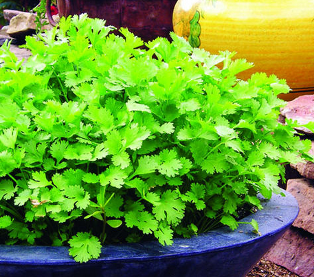 Cilantro_found_on_Sunset.com_2015-06-16_2033.png