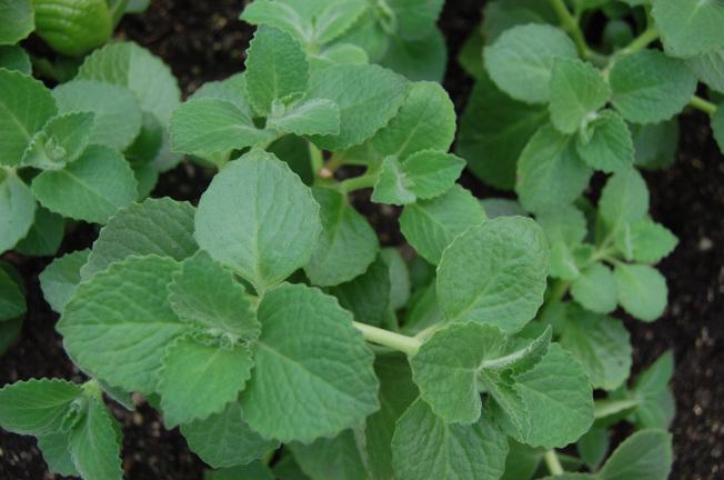 oregano-the-eating-room-herbs-121.jpg