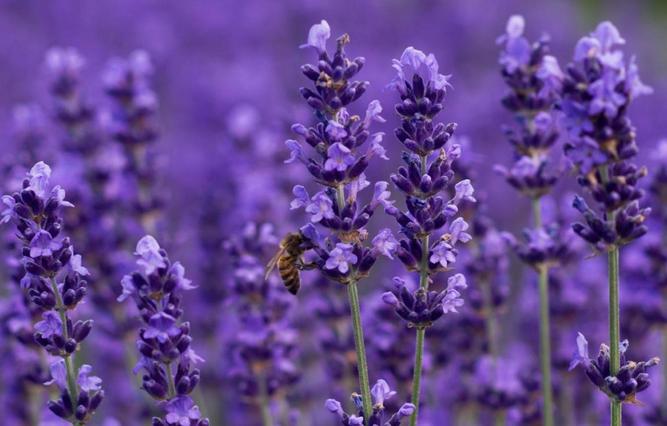 lavender-from_curejoy.com-2015-06-19_0955.png