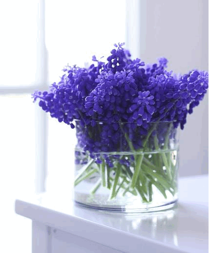 Grape Hyacinth (Mascari)