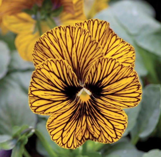Tiger Eye Pansy