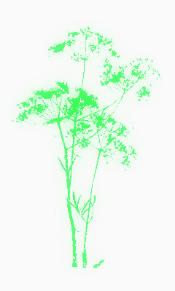 Wild fennel silhouette.jpg