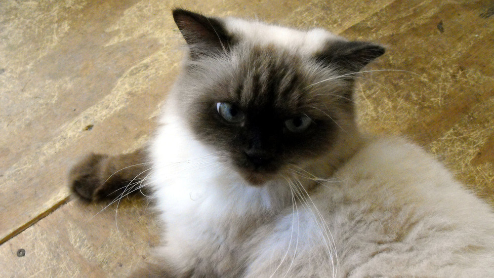 himalayan-cat.jpg