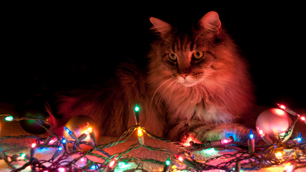 xmas-lights-cat.jpg