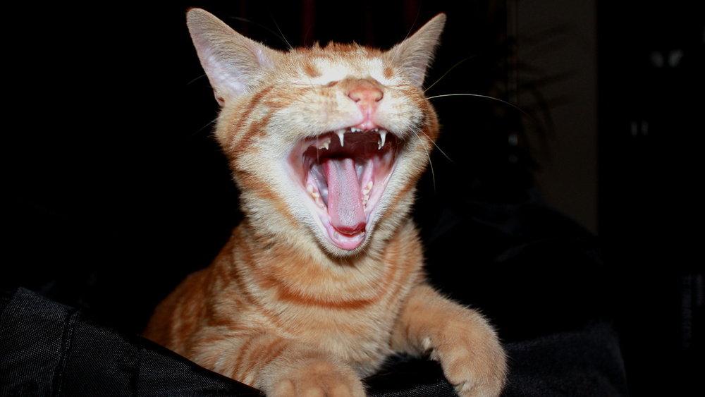 cat-bite
