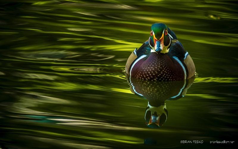 Wood Duck Duck