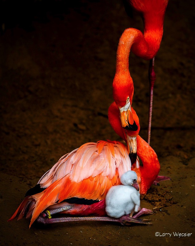 Flamingo Family