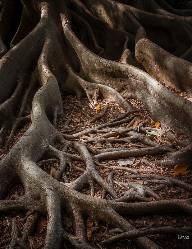 Florida Banyon Tree Roots