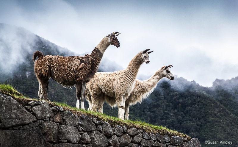 Three Llamas