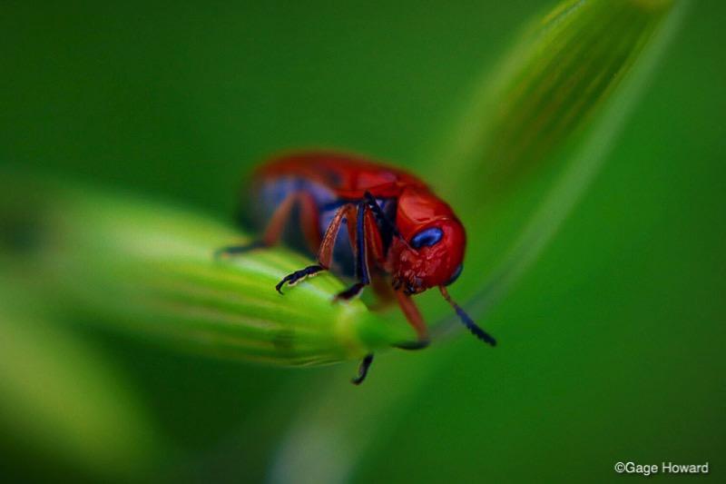 Maroon Beetle