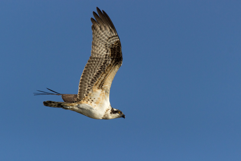 © Ty Casabar Osprey on the Hunt
