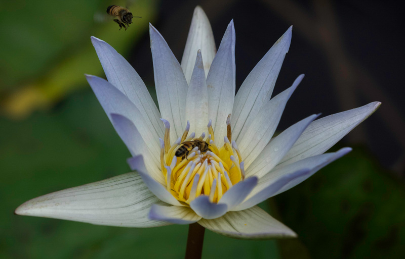 Waler Lily and Bee