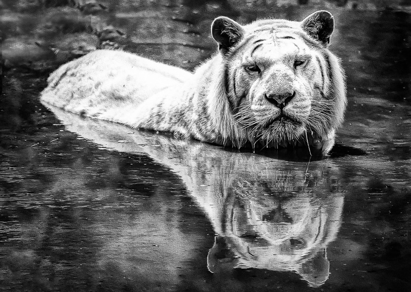 White Tiger Bathing