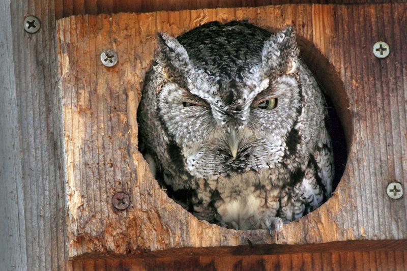 Winking Screech Owl