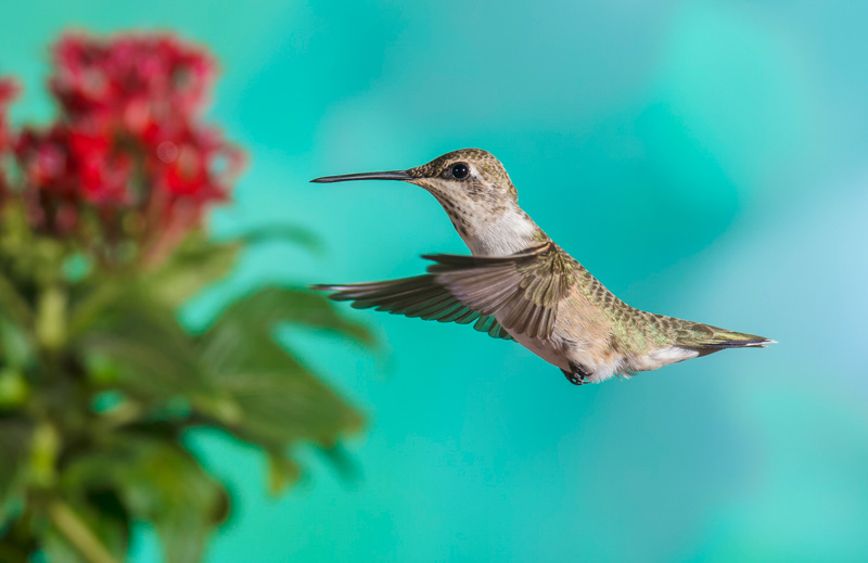 Black-chinned Hummingbird, Female