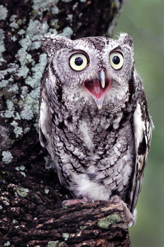 I Bite says the Screech Owl