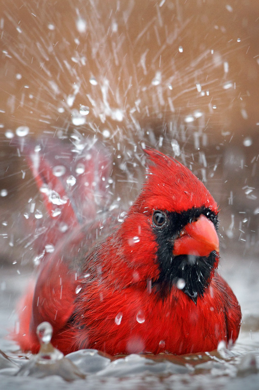 Splish-Splash I'm Taking A Bath Cardinal