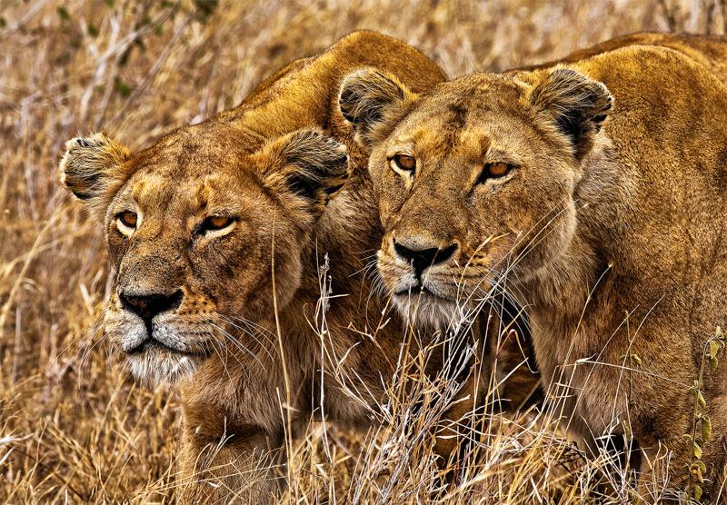 Lions Stalking
