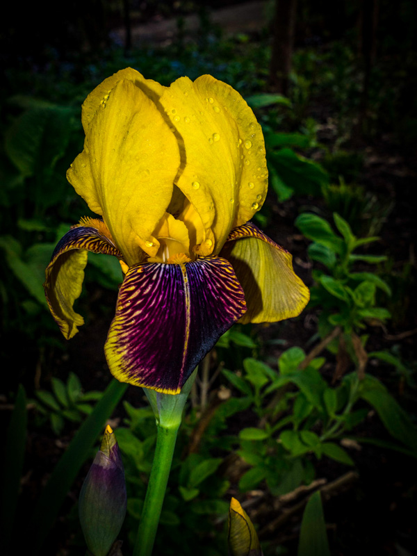 Iris at Mount Stewart House