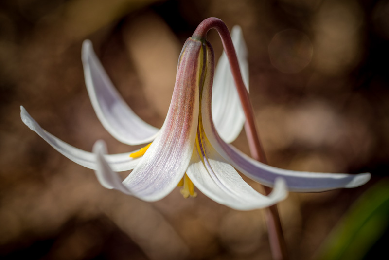 Heard Trout Lily #4