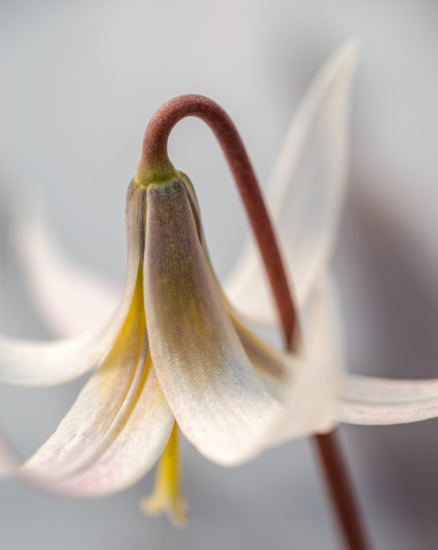 Heard Trout Lily #1
