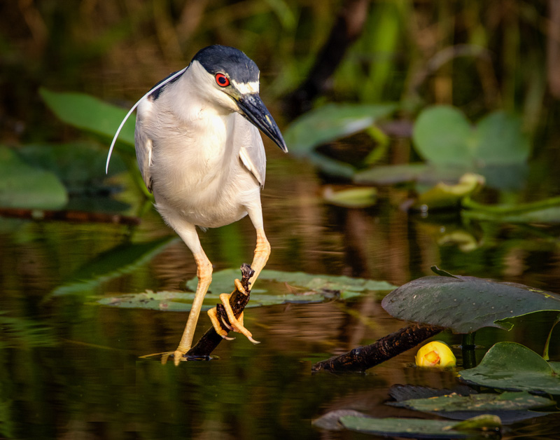 Black Crowned Night Heron.  This beautiful bird was hunting his