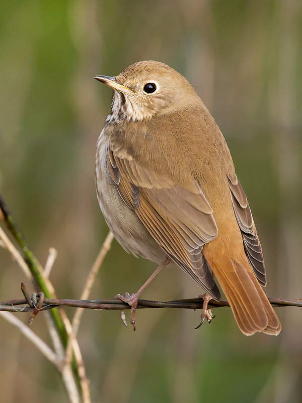 Hermit Thrush on Barbed Wire